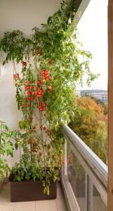 Velká bývá i úroda rajčat, pěstovaných na balkoně v samozavlažovacím truhlíku